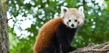 Adopce pandy červené